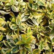 Euonymus fortunei 'Emerald'n Gold', pianta sempreverde