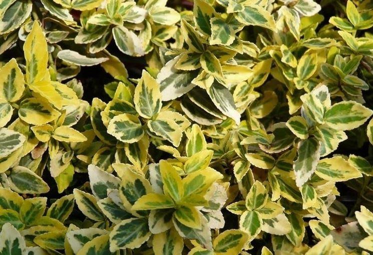 Piante sempreverdi da balcone piante da terrazzo come - Gardenia pianta da giardino ...