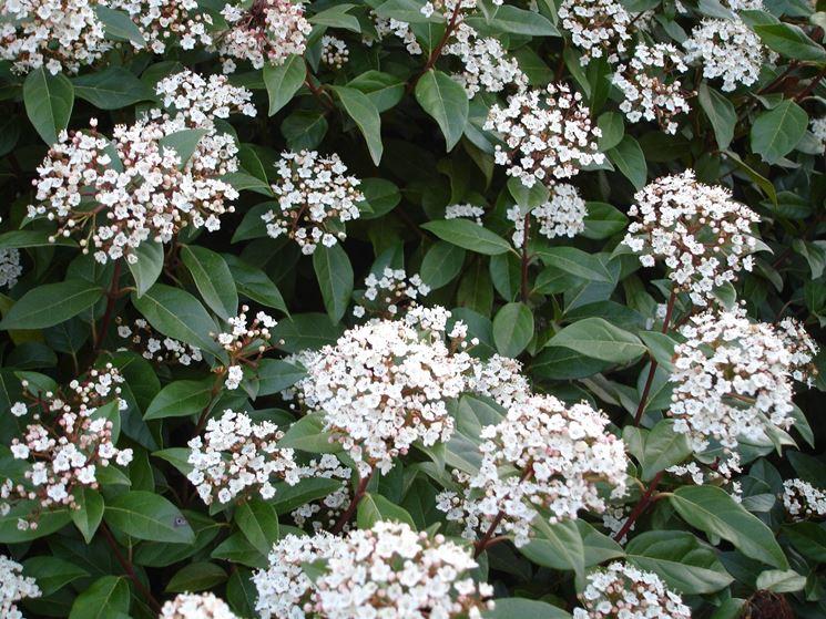 Piante sempreverdi da balcone piante da terrazzo come - Sempreverde da giardino ...