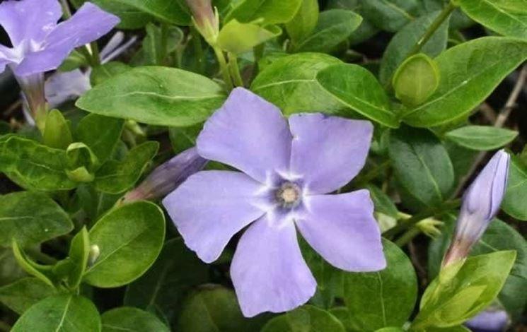Fiore della pianta Vinca minor