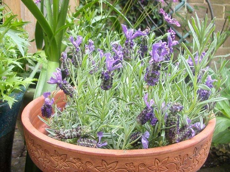piante sempreverdi da terrazzo - piante da terrazzo - piante ... - Piante Sempreverdi Da Vaso Balcone