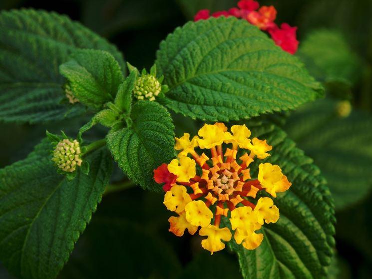 Fiore della pianta di Lantana