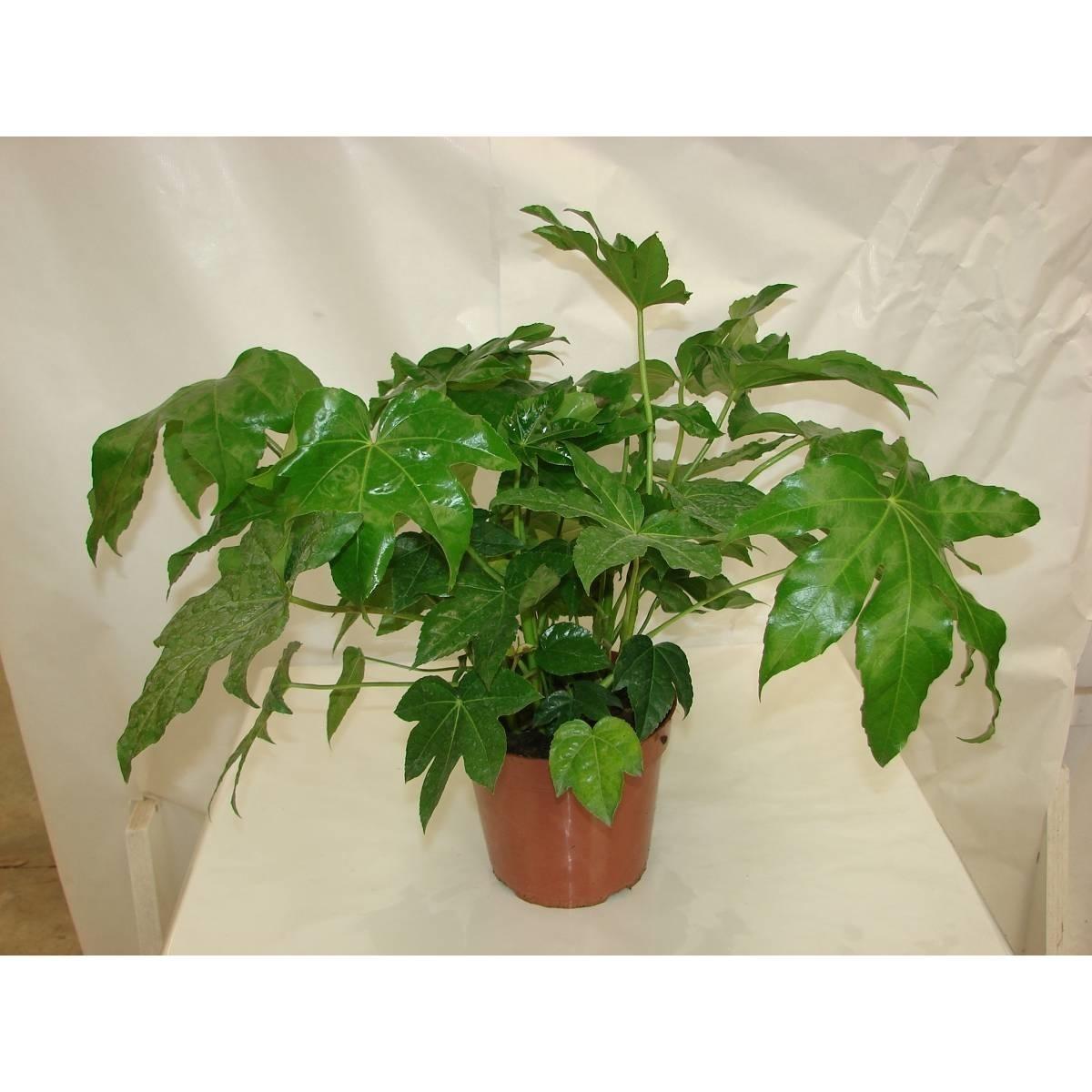 Piante sempreverdi da terrazzo piante da terrazzo for Piante verdi perenni da giardino