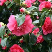 Boccioli e fiori di Camellia japonica