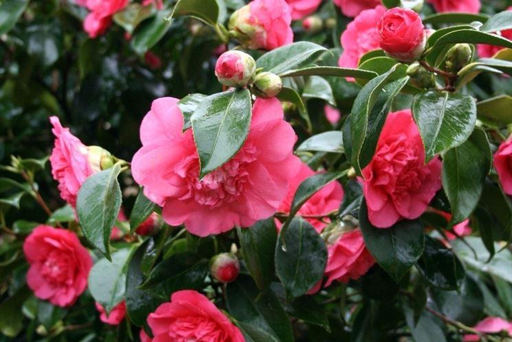 Piante sempreverdi da vaso piante da terrazzo piante for Fiori sempreverdi da giardino