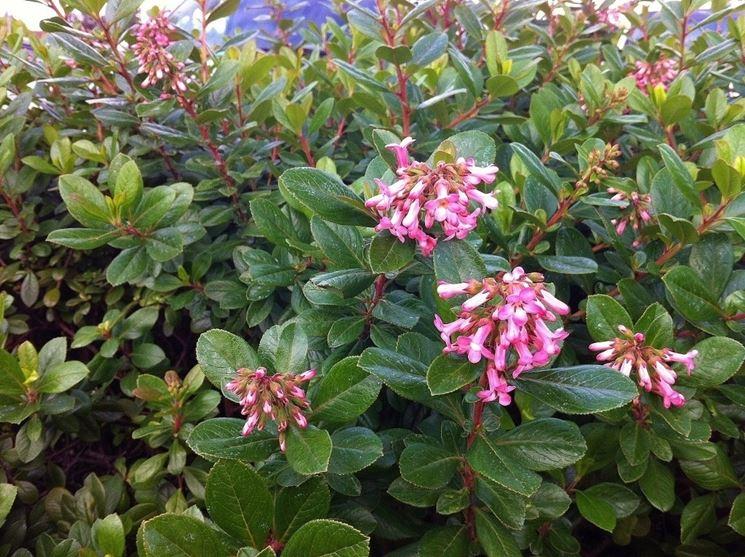 Piante sempreverdi da vaso piante da terrazzo piante for Piante verdi perenni da giardino