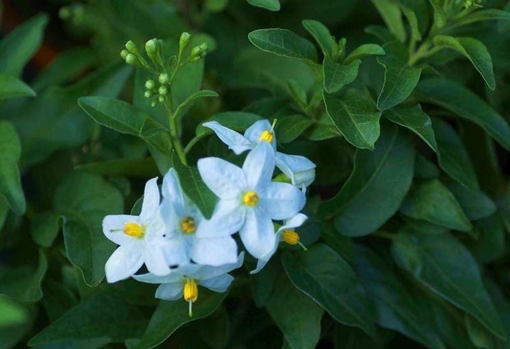 Piante sempreverdi da vaso piante da terrazzo piante for Fiori da balcone perenni