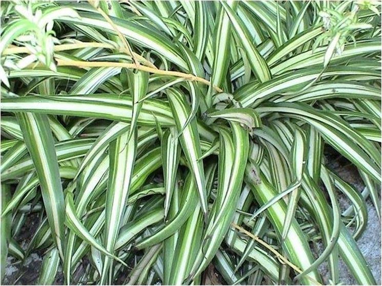Piante sempreverdi da vaso piante da terrazzo piante for Arbusti da vaso per esterno