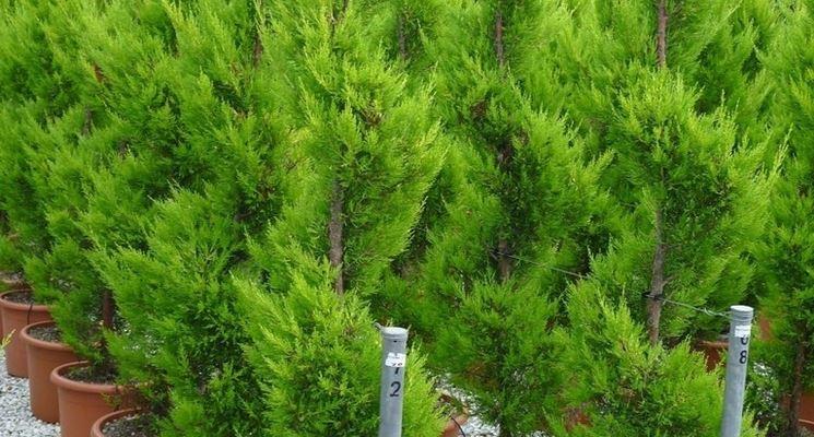 piante terrazzo - piante da terrazzo - caratteristiche delle ... - Piante Sempreverdi Da Vaso Balcone