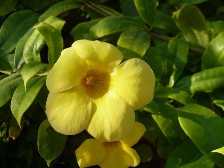 Fiori della pianta di Allamanda