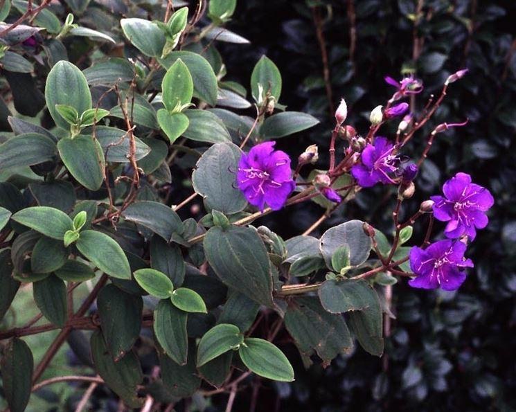Foglie e fiori di Tibouchina urvilleana
