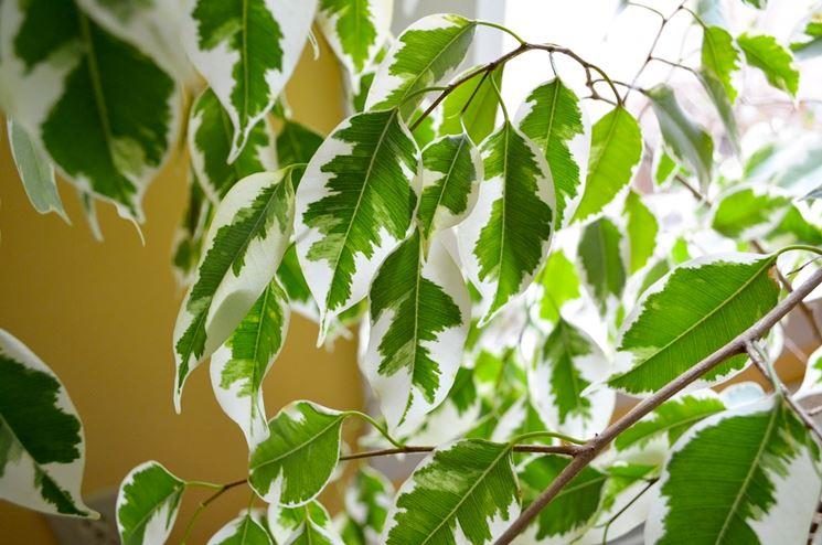 albero di ficus benjamina