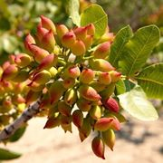 pianta pistacchio