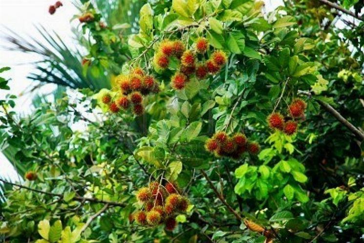 Pianta di Rambutan con frutti