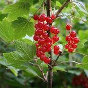 Pianta di Ribes rosso con frutti