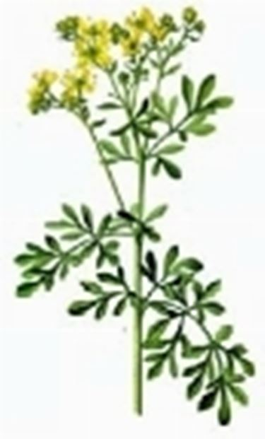 pianta ruta