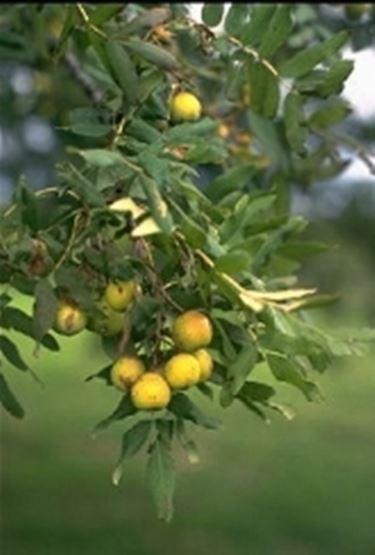 Sorbo domestico carico di frutti
