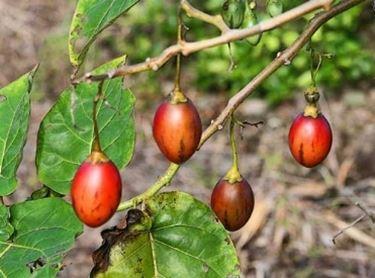Frutti di Tamarillo