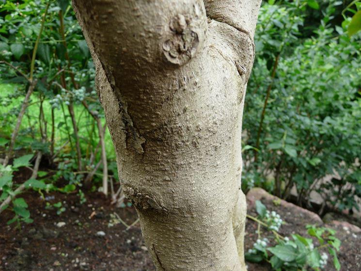 legno tamarillo